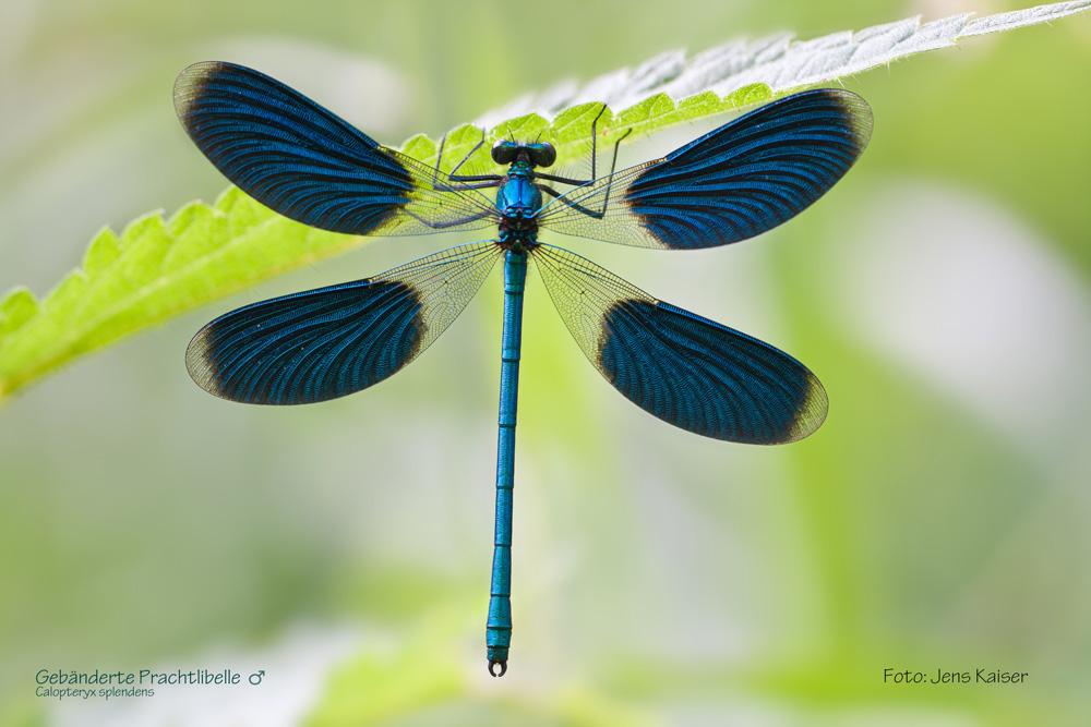 Libelle. Foto: Jens Kaiser