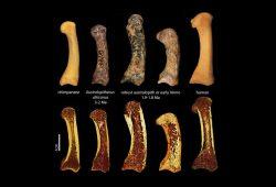 Erster Metakarpal des Daumens eines Schimpansen, fossiler Australopithecinen und eines Menschen (obere Reihe). Die untere Reihe besteht aus Mikro-Computertomografie-Aufnahmen derselben Fossilien. Im Längsschnitt sieht man die Trabekelstruktur innerhalb der Knochen. Foto: MPI EVA, Tracy Kivell