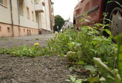 Löwenzahn erobert ein Stück Connewitzer Gehweg zurück. Foto: Ralf Julke