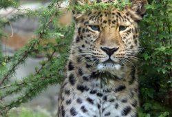 Entdeckertage Raubtiere – Amurleopard Foto: Zoo Leipzig