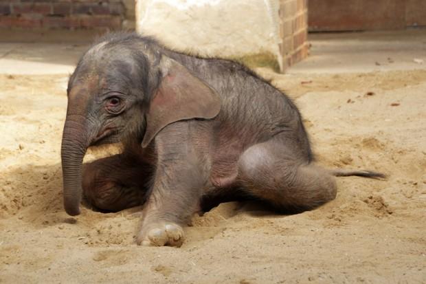 Das am 25. März geborene weibliche Elefantenbaby im Zoo Leipzig. Foto: Zoo Leipzig