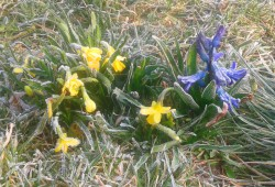 Frühblüher mit morgendlichem Rauhreif. Das Frühjahr kann beginnen. Foto: Patrick Kulow