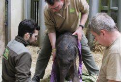 Pfleger und Tierarzt betreuen das Elefantenjungtier rund um die Uhr. © Zoo Leipzig