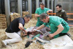 Ultraschall und Massage beim Elefantennachwuchs © Zoo Leipzig