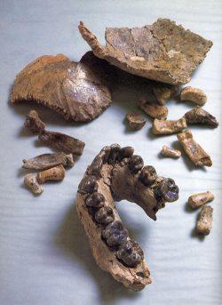 Das Fossil Olduvai Hominid 7 (OH 7) besteht aus einem Teil des Unterkiefers, Schädel- und Handknochen. Foto: John Reader