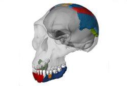 Rekonstruierter Schädel eines Homo habilis basierend auf den Knochen des Fossils OH 7 aus der Olduvai-Schlucht. Foto: Philipp Gunz, Simon Neubauer, Fred Spoor