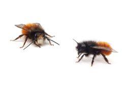 Männchen (links) und Weibchen (rechts) der Gehörnten Mauerbiene. Foto: Michael Fritzsche