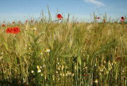 Getreidefeld mit ein paar bunten Farbtupfern. Foto: Ralf Julke