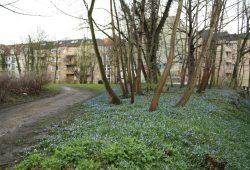 Pracht in Blau: Frühblüher am Zugang zur Grünanlage in der Leopoldstraße. Foto: Ralf Julke