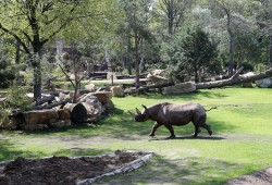 Nashornkuh Nandi auf Erkundung auf der neuen Kiwara-Kopje. Foto: Zoo Leipzig