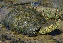 Reptil des Jahres 2015. Foto: DGHT/Noellert
