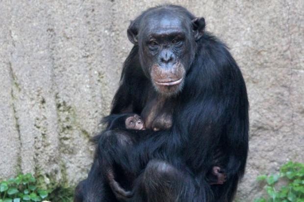 Swela mit Jungtier. Foto: Zoo Leipzig