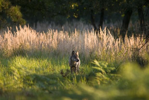 Rüde des Daubitzer Wolfsrudels auf dem Truppenübungsplatz Oberlausitz im sächsischen Teil der Lausitz. Foto: NABU/Jan Noack