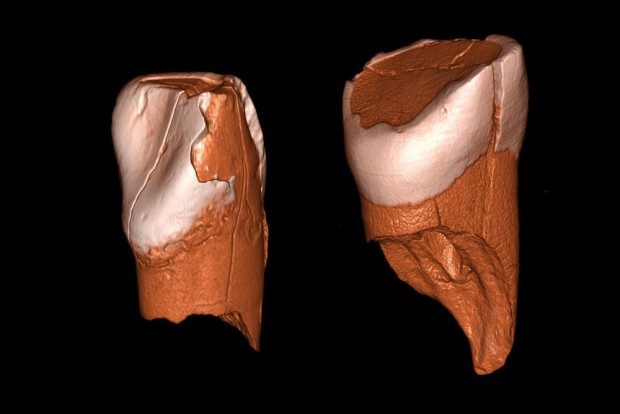 Dreidimensionale digitale Modelle des unteren Schneidezahns aus Riparo Bombrini (links) und des oberen Schneidezahns aus der Grotta di Fumane (rechts). Foto: Daniele Panetta