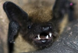 Nachts werden sie auf dem Friedhof lebendig: Fledermäuse sind dann auf Insektenjagd. Foto: NABU/Gerhard Maescher
