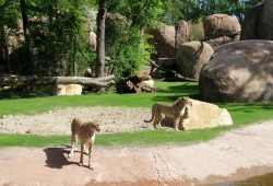 Geparden in der Kiwara-Kopje. Foto: Zoo Leipzig