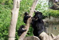 Lippenbärin Lina mit ihren Jungtieren. Foto: Zoo Leipzig