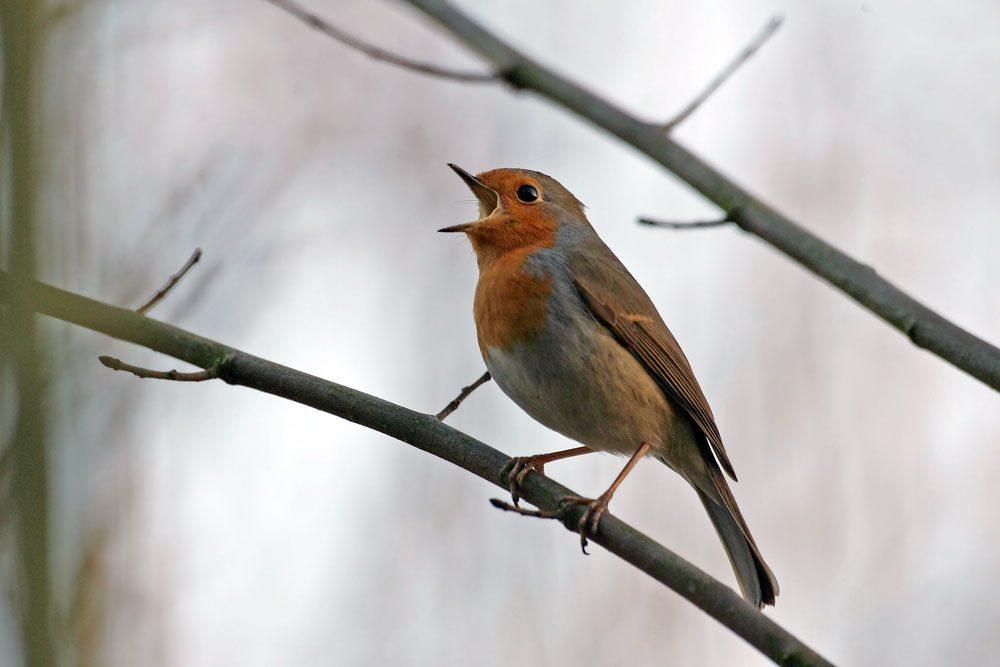 Singendes Rotkehlchen. Foto: NABU