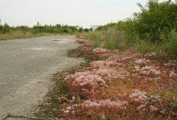 Diese pflanzenumsäumte Straße im Gelände sollte mal die Porzellangasse werden. Foto: Ralf Julke