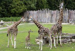 Giraffenjungtier Geluk mit Vater Max und Mutter Gusti (r) bei seinem ersten Savannenausflug. Foto: Zoo Leipzig
