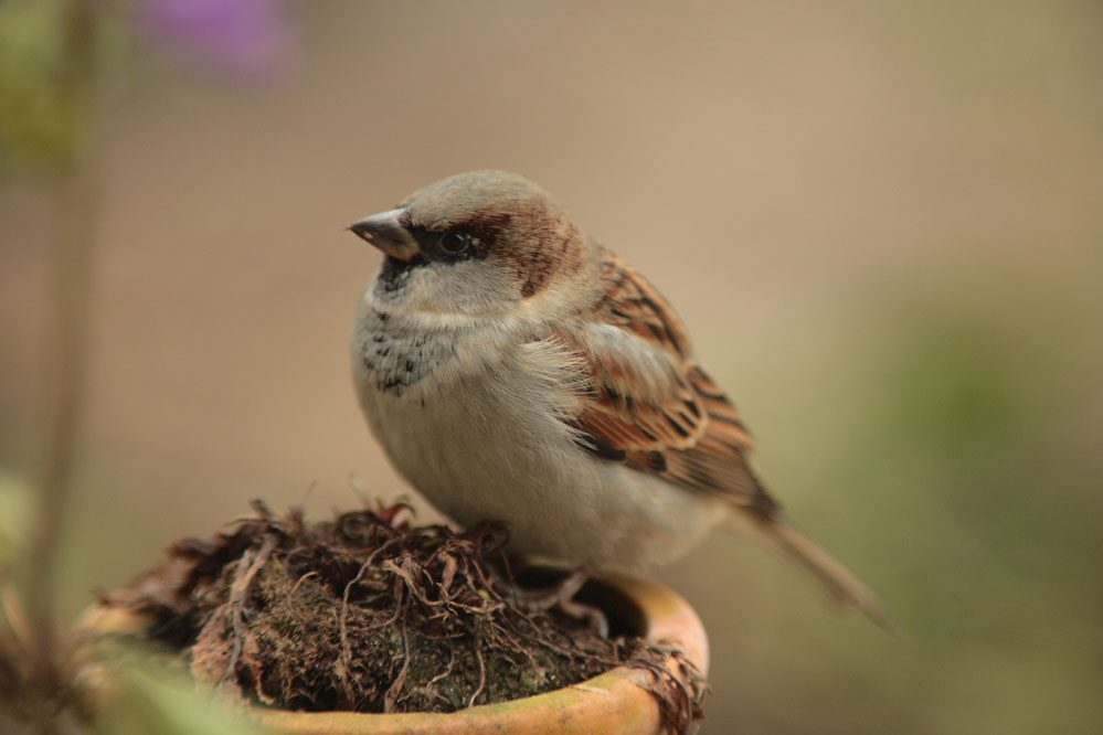 Dauergewinner bei der Stunde der Gartenvogel und doch auf der Vorwarnstufe der Roten Liste: Der Haussperling. Foto: Fotonatur