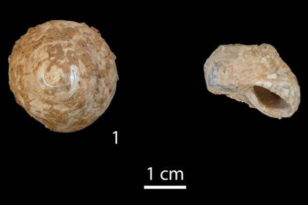 Muschelschalen von Phorcus turbinatus. Links Draufsicht, rechts Seitenansicht einer Muschel, deren oberer Teil von Menschen abgeschnitten wurde, um an das Muschelfleisch zu kommen. Foto: Marjolein Bosch, MPI für evolutionäre Anthropologie