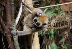 Plumplorinachwuchs: Mutter Mercedes mit zwei Jungtieren. Foto: Zoo Leipzig