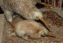 Kiwi - vom Aussterben bedroht. Foto: Dieter Schütz / Pixelio