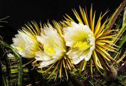 """Seltenes Schauspiel: Die """"Königin der Nacht"""" in prächtiger Blüte. Foto: Botanischer Garten/Wolfgang Teschner"""