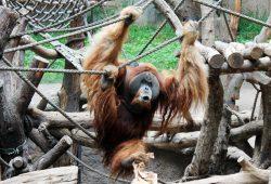 Schwungvoll ins Wochenende - Bimbo freut sich auf viele Besucher bei den Orang-Utan-Tagen. Foto: Zoo Leipzig