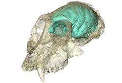 Dreidimensionales Computermodell des winzigen, aber komplexen Gehirns von Victoriapithecus. Foto: MPI für evolutionäre Anthropologie/ F. Spoor