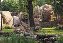 Geparden und Nashornbulle Ndugu gemeinsam auf der Freianlage der Kiwara-Kopje. Foto: Zoo Leipzig