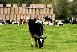 Nicht allen sächsischen Kühen geht es so gut und sie kommen - wie diese hier - auch mal ins Grüne. Foto: Matthias Weidemann