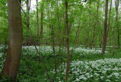 Ein typisches Bild des Leipziger Auwaldes - aber ist das eigentlich natürlich? Foto: M.Vlaic I NABU Sachsen