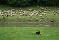 Ich hab ja nix gegen Schafe, aber … Foto: Daniel Thalheim