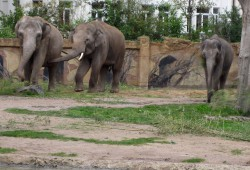 Voi Nam mit den Elefantenkühen vergesellschaftet. Foto: Zoo Leipzig