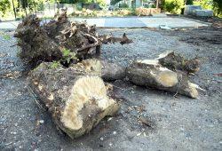 Nach wie vor fallen in Leipzig Bäume für neue Park- und Abstellflächen. Foto: Ralf Julke