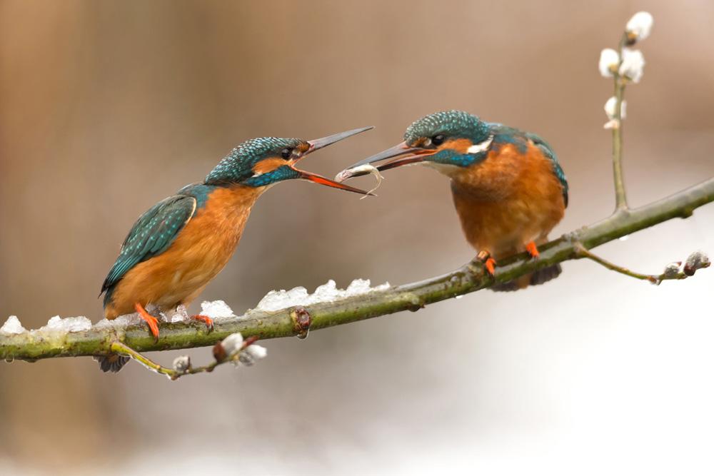 Eisvögel. Foto: Knut Fischer