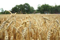 Ein Getreidefeld auf Leipziger Flur. Foto: Ralf Julke