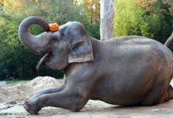 Elefantenkuh ist für Thura Halloween schon gewappnet, Foto: Zoo Leipzig