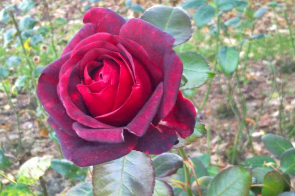 Die Rose - heutzutage die Diddle-Maus unter den Blumen in der Damenwelt. Foto: L-IZ.de