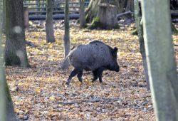 Wildschwein im Wildpark. Foto: Alexander Böhm