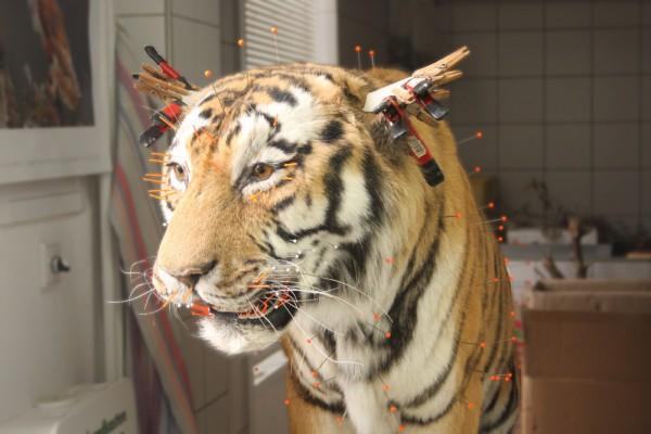 Arbeitsstand des sibirischen Tigers im Mai. Foto: Alexander Böhm