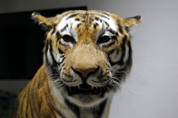 Das fertige Präparat des Sibirischen Tigers. Foto: Alexander Böhm