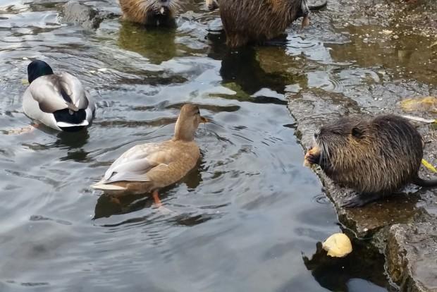 Nutrias und Enten beim Brötchenfuttern am Aurelienbogen. Foto: Marko Hofmann