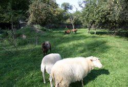 Schafe und Ziegen auf einer Fallobstwiese. Foto: Matthias Weidemann