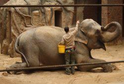 Thura beim Training. Hier wird ihr der Sand vom Rücken gebürstet. Foto: Ralf Julke