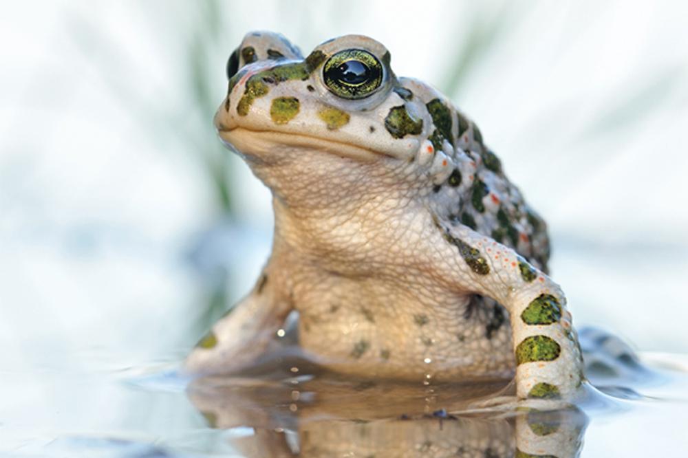 Frosch. Foto: Markus Gebel