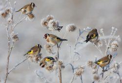 Stieglitze. Foto:Buiten-beeld/BartWullings/NatureasArt