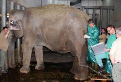 Ultraschall-Untersuchung bei Thura. Foto: Zoo Leipzig